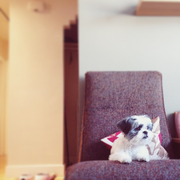 Sadie-Shih-Tzu-in-a-chair-December-27-2013
