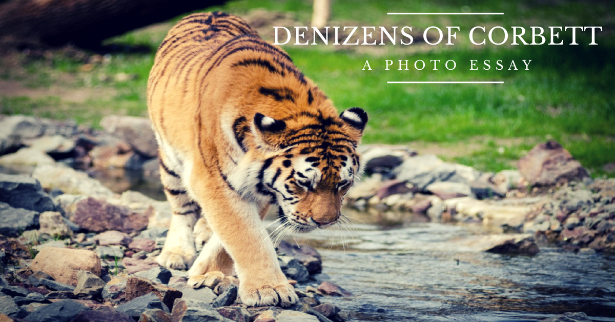 Saevus DENIZENS-OF-cORBETT-1 Denizens of Corbett: Glimpses of Wildlife at Corbett National Park Exploration  Travel Photography