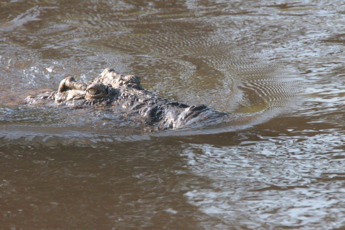 Crocodile Crocodylus niloticus (photo: Monto)