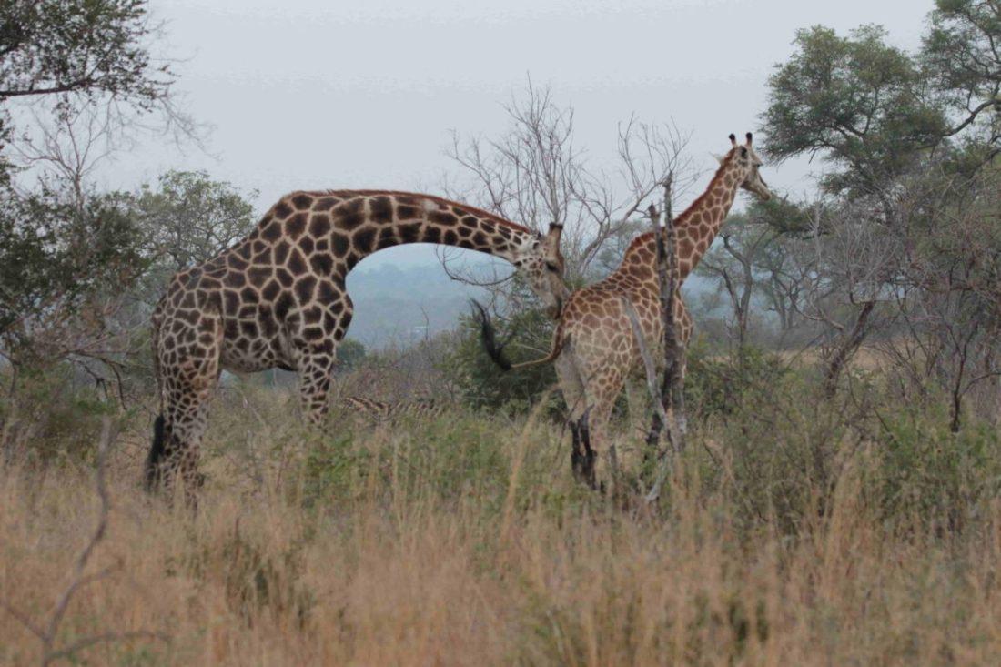 Giraffe Giraffa Camelopardalis (photo: Monto)_SAEVUS