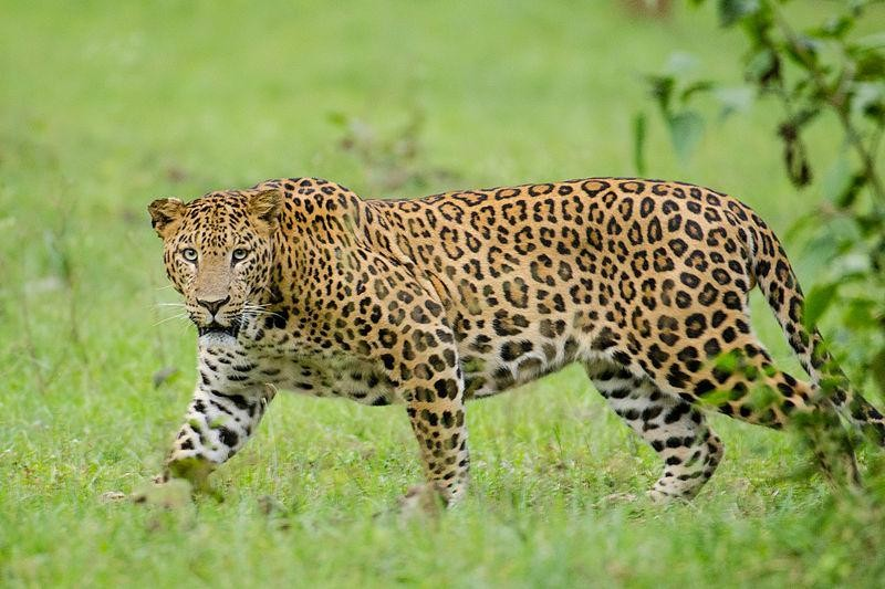 A tryst with the leopards of agricultural landscape