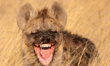 Saevus Laugh_savus-300x180 Nature's Laughter Riot: The Spotted Hyena Day's Special  riot nature laughter day laugh hyena giggle communication