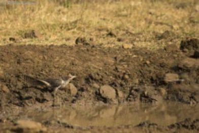 Asian Koel Female