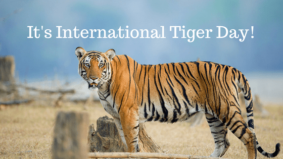 It's International Tiger Day!