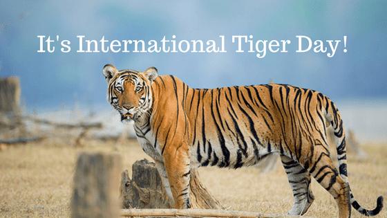 It's International Tiger Day!