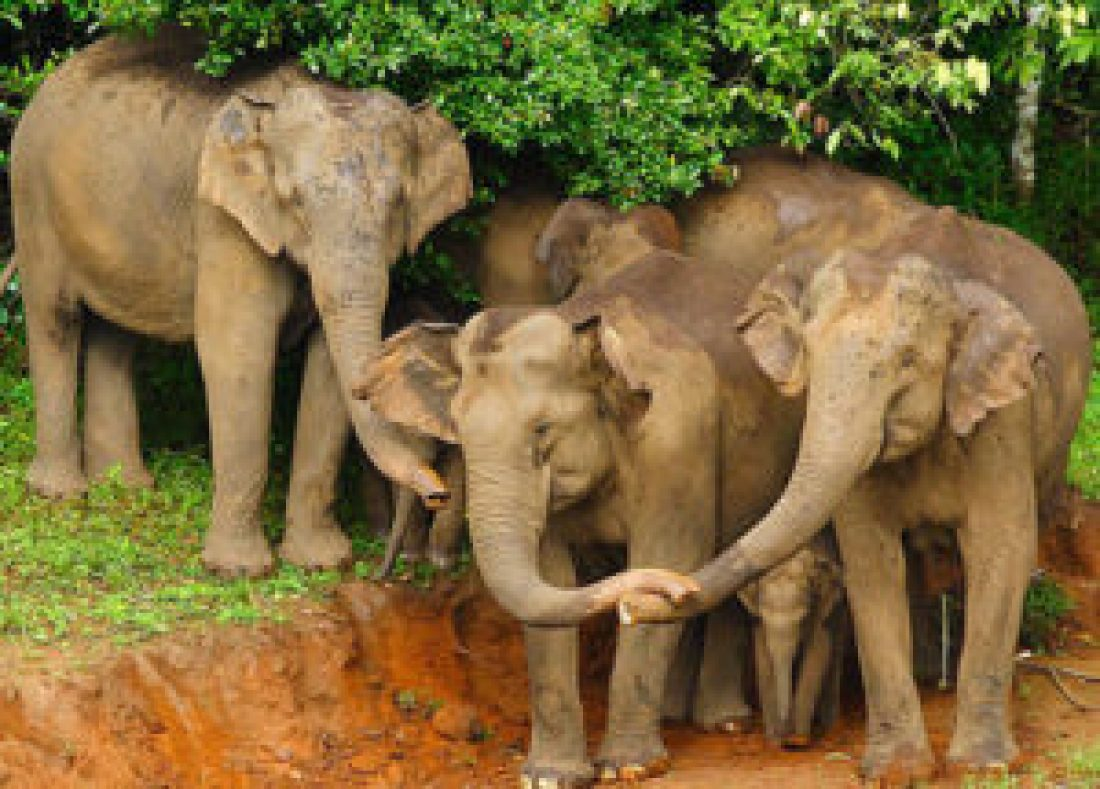 Elephants in Periyar National Park, Kerala