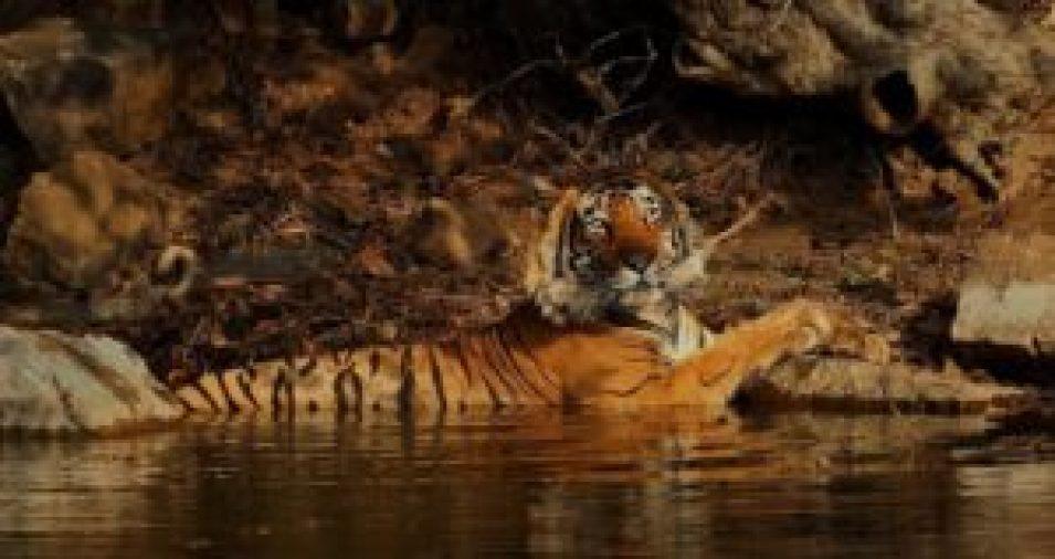 Romeo Cooling at Ranthambhore tiger reserve