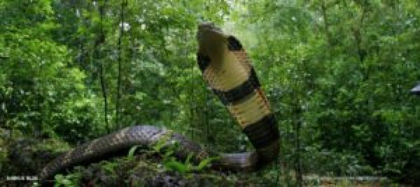 King Cobra_travel guide to Agumbe