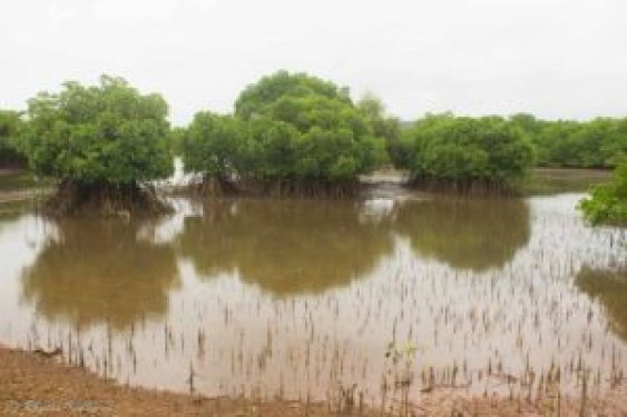 Saevus Mangrove-Ecosystem-300x200 Mumbai, Monsoon and Mangroves! Conservation  Mumbai Monsoon Mangrove