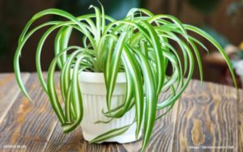 spider-plant_How you can breathe better air every day!_SAEVUS