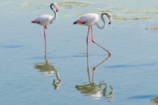 Ras Al Khor Wildlife Sanctuary the feeding base of Flamingos in Dubai