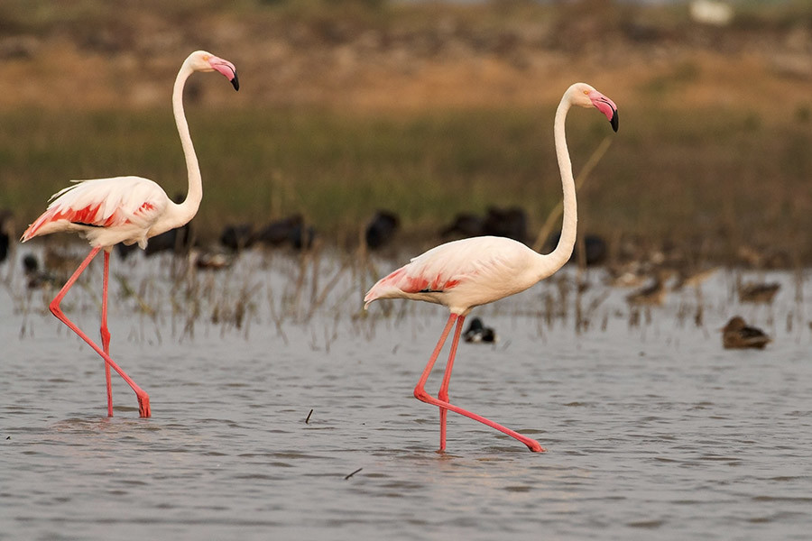 Greater flamingos at Bhigwan | Credit: Nitin Desai