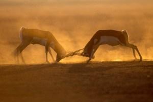 Blackbucks (Antilope cervicapra) sparring