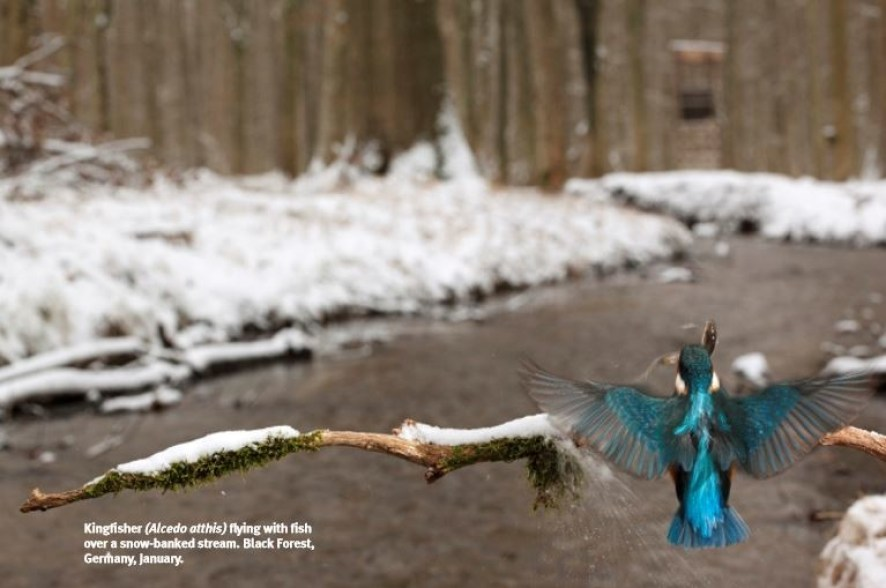 Kingfisher (Alcedo atthis) flying with fish over a snow-banked stream. Black Forest, Germany
