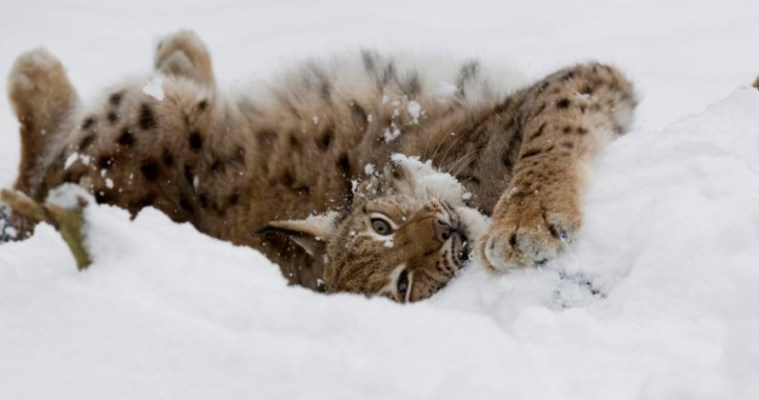 Saevus Lynx-Lynx-lynx-having-a-snow-bath.-Black-Forest-Germany-300x158 Chronicles of the Black Forest Tete - A - Tete World  Klaus Echle Black Forest
