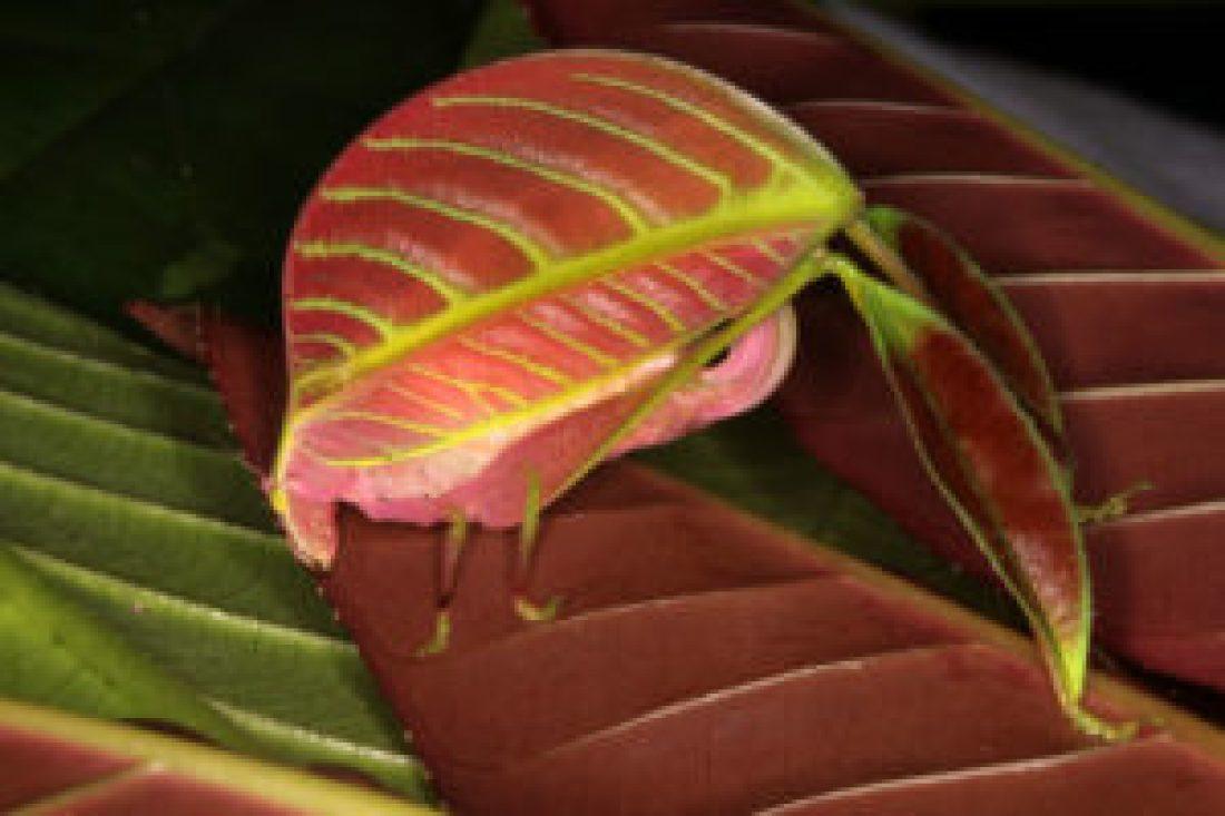 Pink Leaf Insect | Photo: Natgeo