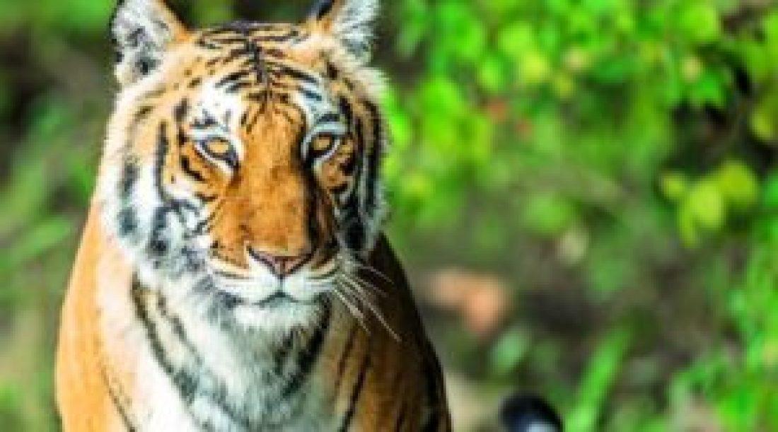 Tiger at Namdapha National Park
