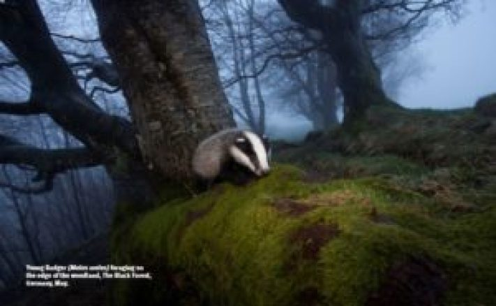 Young badger (Meles males) foraging on the edge of the woodland, The Black Forest, Germany, May.