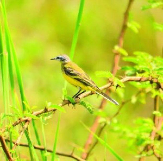 Yellow Wagtail (Motacilla flava), Bhigwan