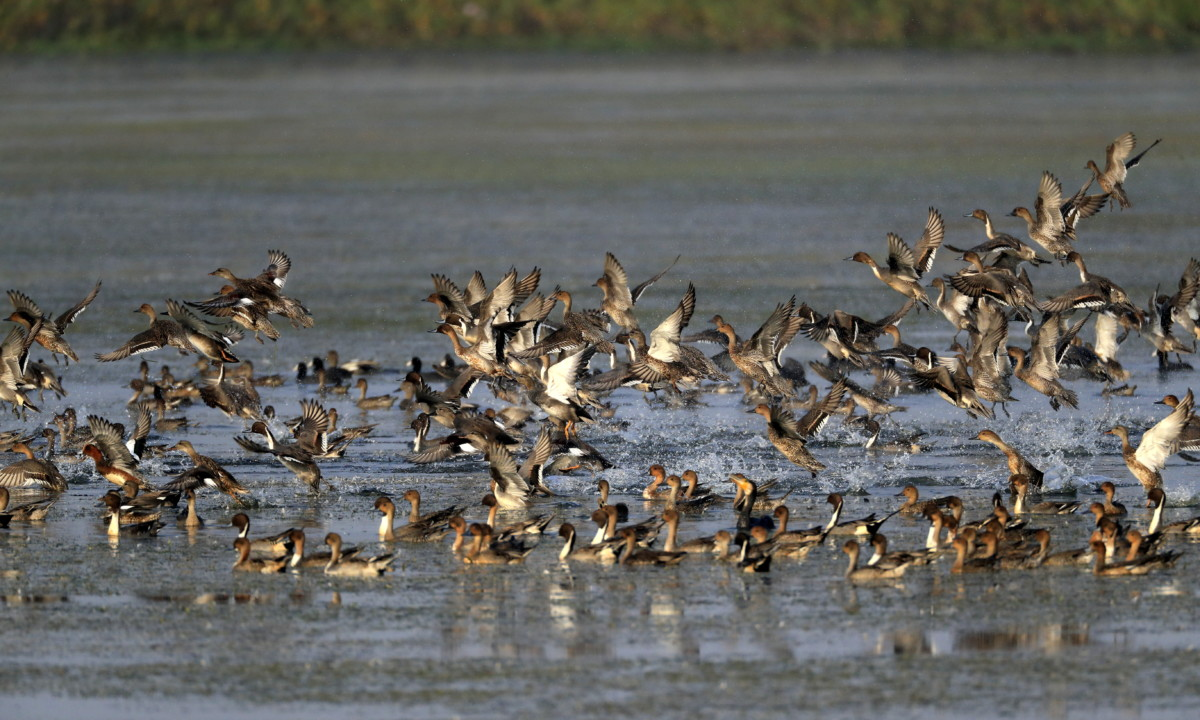 Flocking to the wetlands of Uttar Pradesh