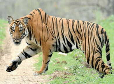 Saevus Tiger TIGER CENSUS COUNTS UP TO 41; NEXT PHASE TO BEGIN SOON News  tiger sanctuary Nagarhole census BRT Bandipur
