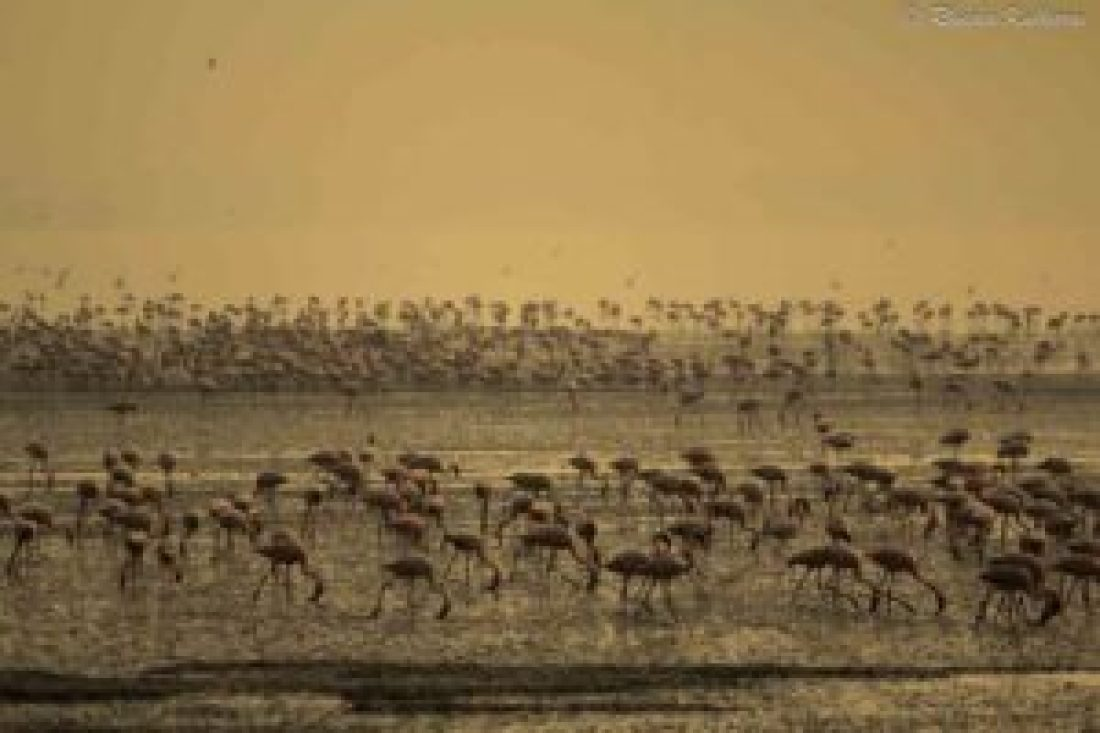 Flamingos at Sewri Creek