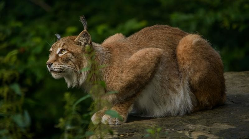 Canada lynx no longer threatened, says US wildlife agency