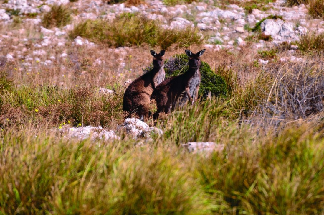 A sub-species of the Western grey kangaroo, the Kangaroo Island kangaroo (Macropus fuliginosus fuliginosus) is smaller and darker than the mainland species. They are known to live in small family groups, with males competing for dominance.