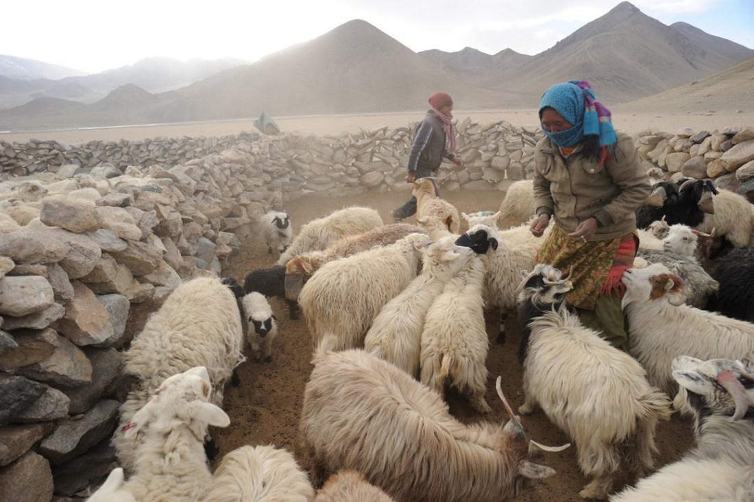 Saevus nomads_2_ Green … once upon a time Conservation Travel  robu Pashmina wool Ladakh himalaya Changpas