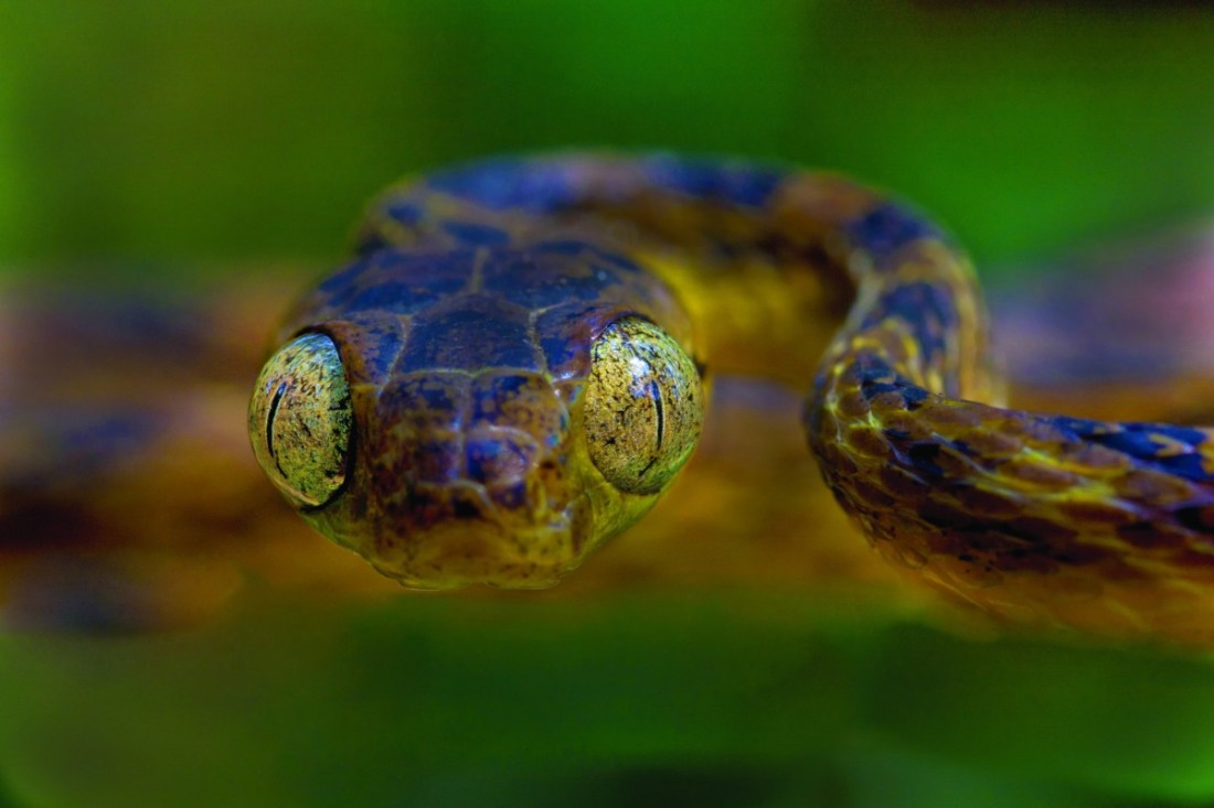 An unidentified Cat snake (Boiga sp), Silence Valley