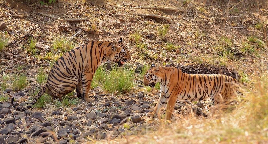 Twin tiger deaths rock Sariska, Ranthambhore