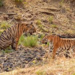 Twin tiger deaths rock Sariska, Ranthambhore