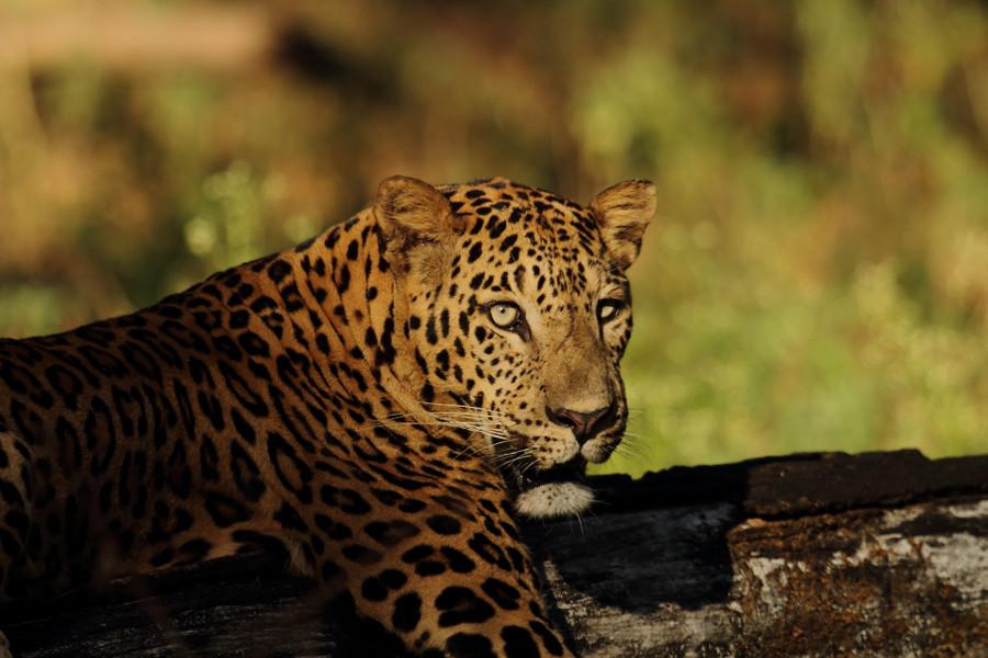 Leopard found dead in wildlife sanctuary