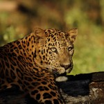 Leopard found dead in wildlife sanctuary