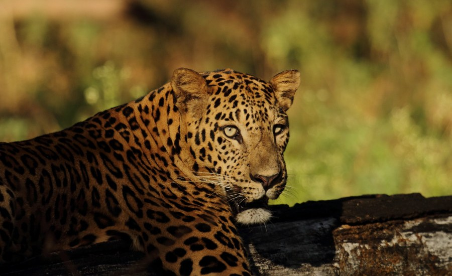 Saevus GaneshN_Look-of-a-Leopard-Panthera-pardus Leopard found dead in wildlife sanctuary News  Sohagi Barwa Wildlife Sanctuary leopard death