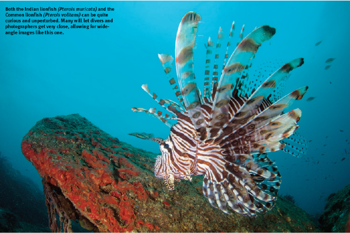 Masqueraders of the deep seas - Scorpaenidae in Indian waters