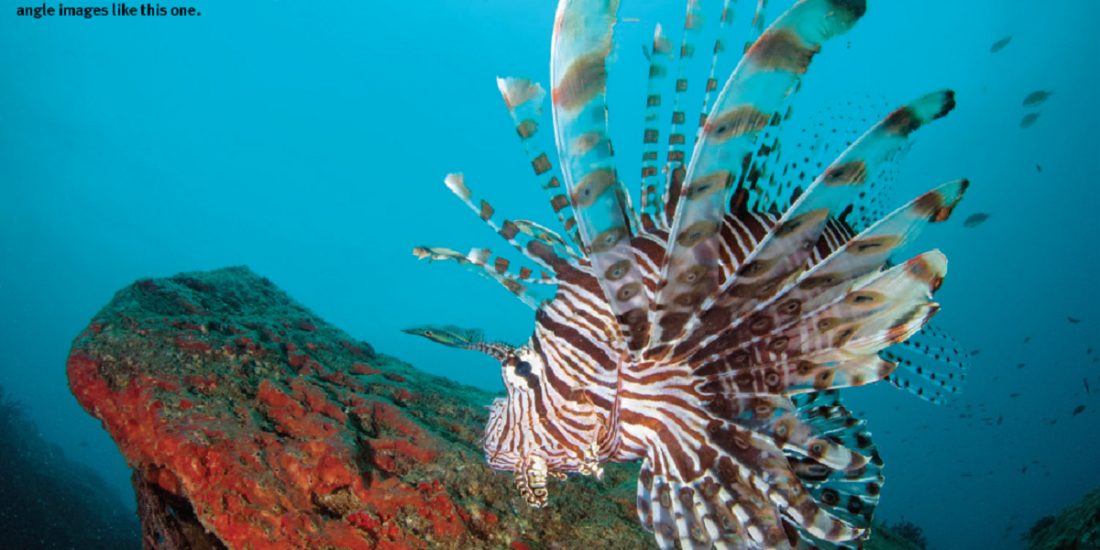 Saevus Untitled-2 Masqueraders of the deep seas - Scorpaenidae in Indian waters Exploration  underwater photography Underwater scorpionfish lionfish divers Bearded Scorpionfish