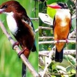 Four Kingfisher species sighted in Krishna Wildlife Sanctuary