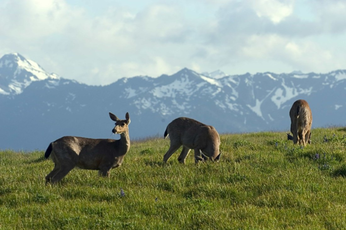 Foraging for grass on the Hurricane ridge are Mule deer (Odocoileus hemionus) called so because of their large mule-like ears