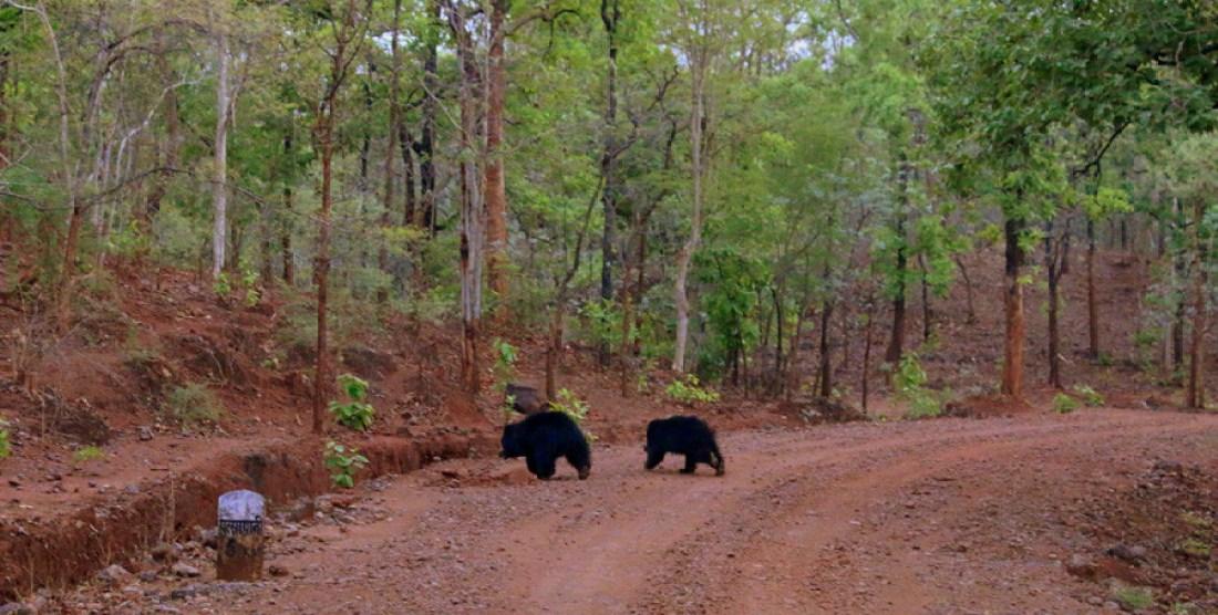 Sloth bear along with cub-Parsapani-SAEVUS-BOB