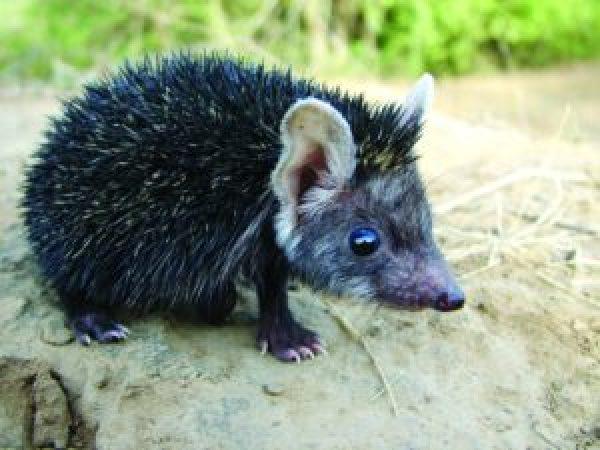 Indian long-eared hedgehog_Saevus_Chambal