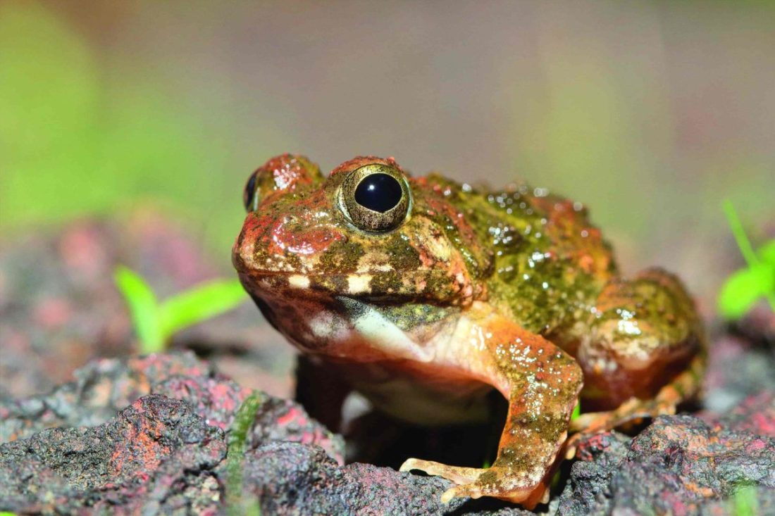 Reddish Burrowing Frog - Amboli -Saevus