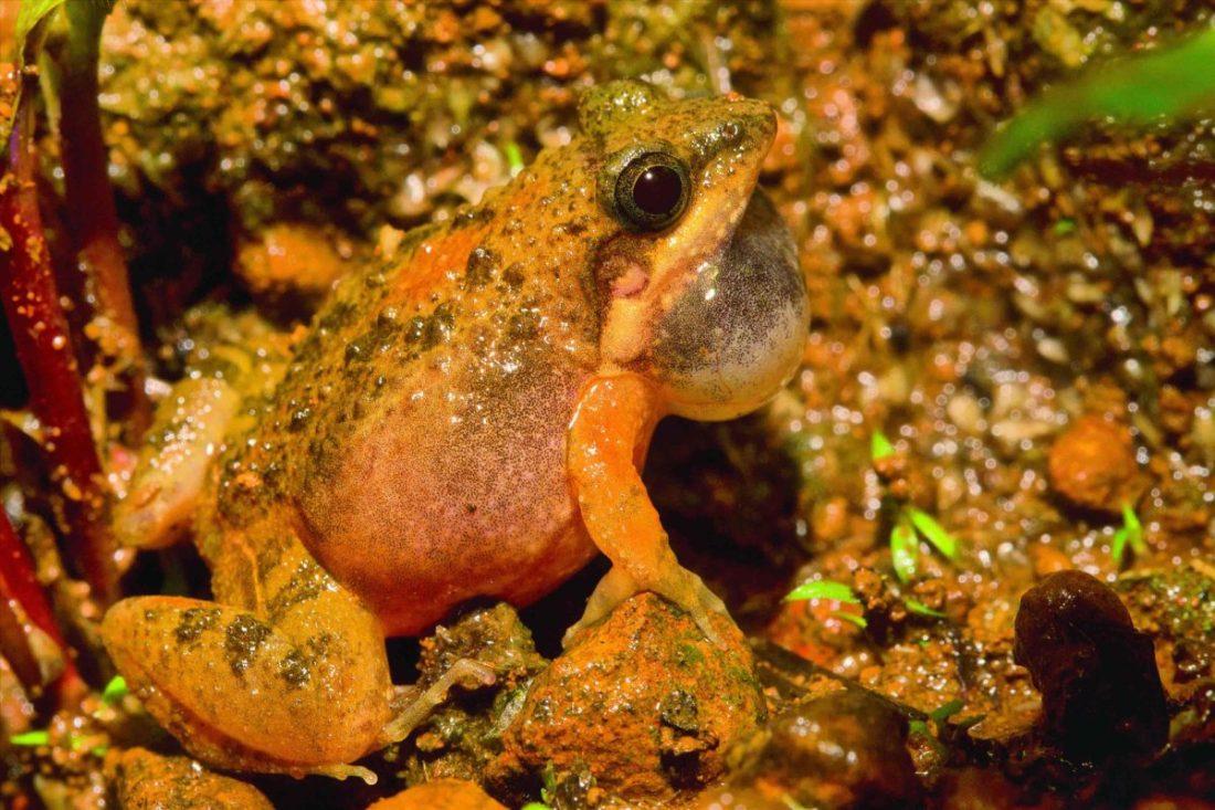 Sahyadri Rainpool Frog- Amboli-Saevus