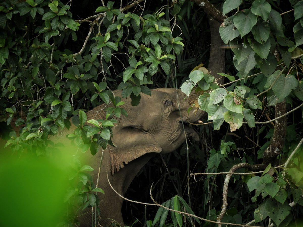 Elephant feeding on Ochlandra (Indian bamboo) inside a wet evergreen patch in the Anamalai hills, southern India. Photo by Sreedhar Vijayakrishnan.