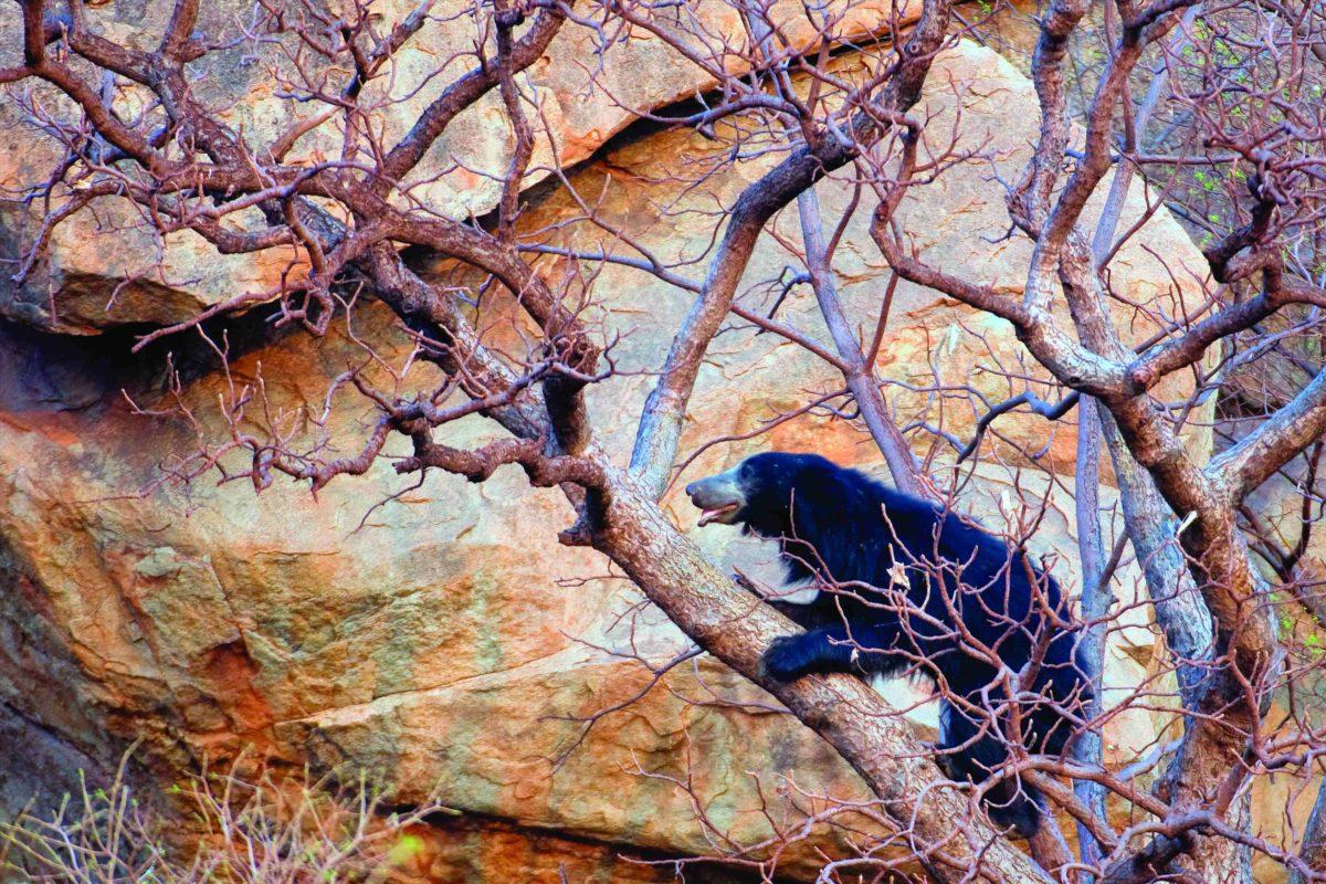 Sloth Bear (Melursus ursinus) climbing on tree, Karnataka, India, March.