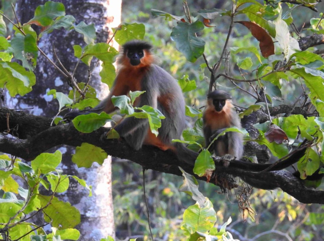The young with the mother -Capped Langur