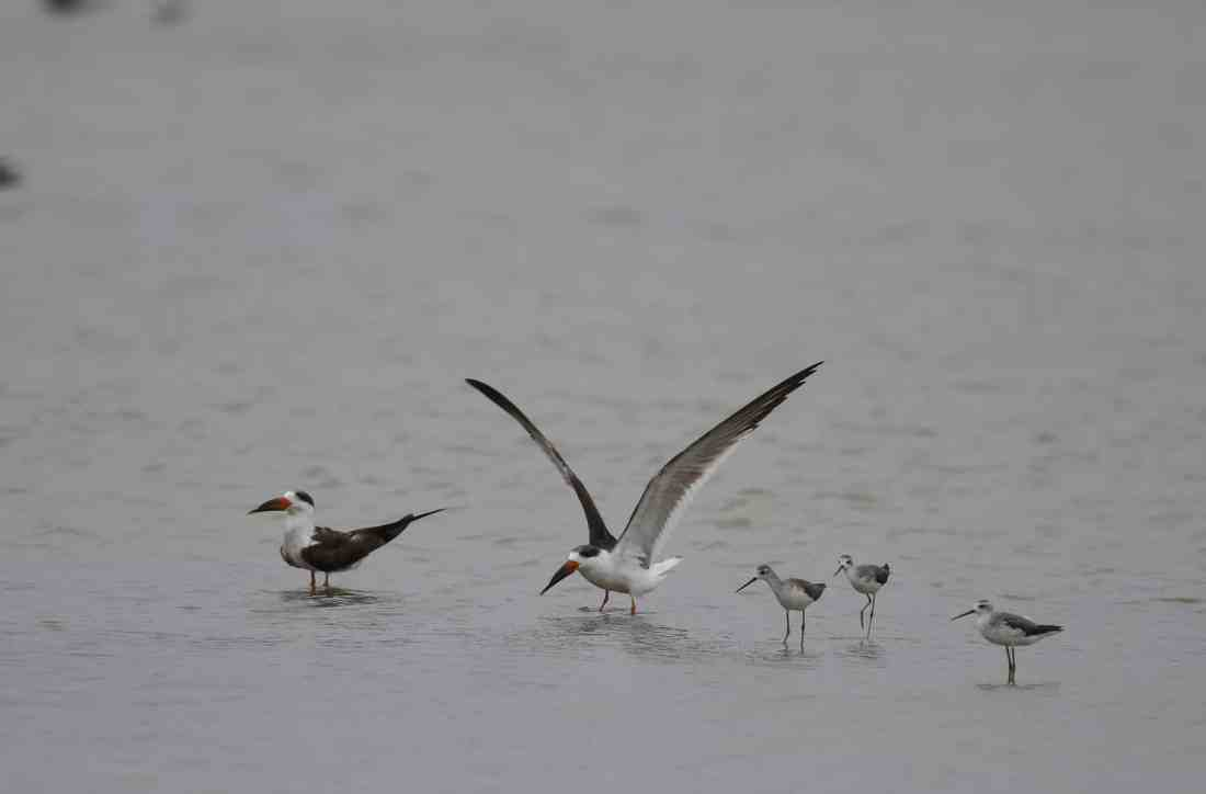 Indian Skimmer standing in water