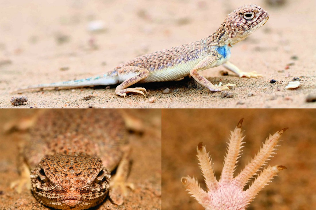 The Rajasthan Toad-headed Agama has evolved nostrils which are placed on the top of the head and fringed toes which aid in locomotion on and in sand.