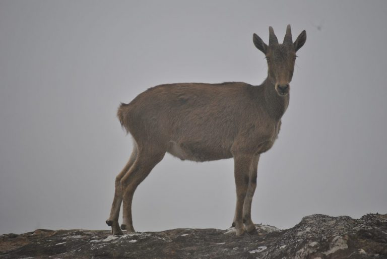 Climate change could threaten the habitat of the endangered Nilgiri tahr