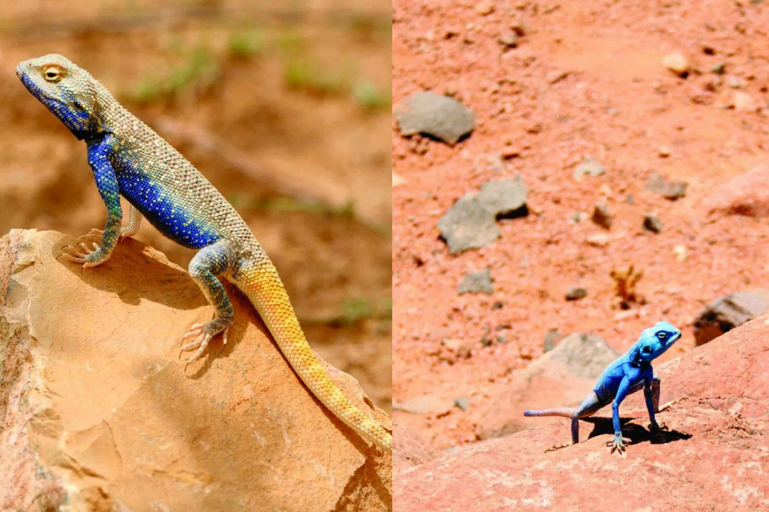 The Brilliant Agama (above) and the Sinai Agama (right) are not related, but have developed similar colours which are used to attract females.<